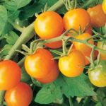 Cherry Tomato Sun Gold Hybrid
