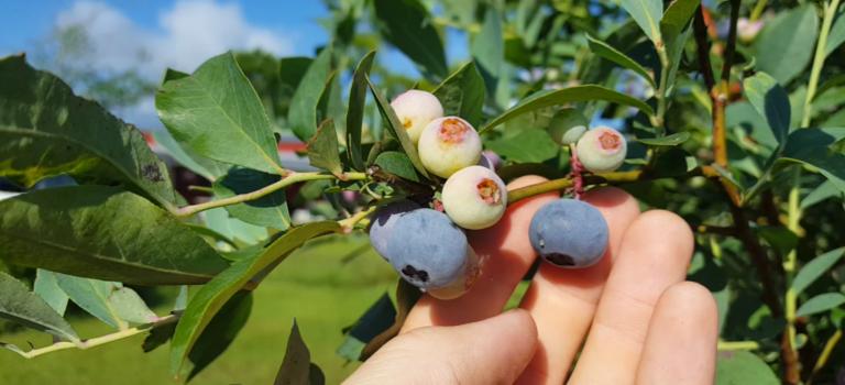 Crop Focus: Blueberries